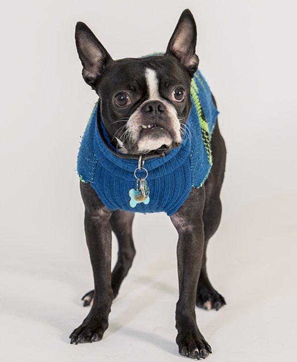 Chuck Norris - Our Social Media Boston Terrier - ImagiBrand